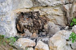 Uhu brütet am Fels im Nest